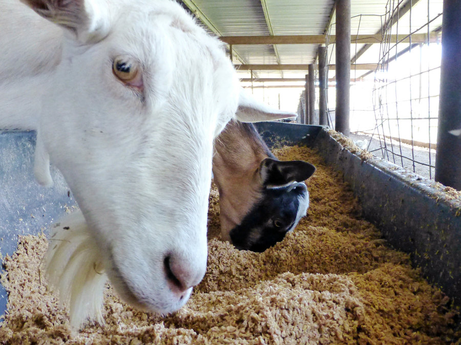 goats-grain-d2868694dff306ce19f70747017fdd17f4128579-s900-c85