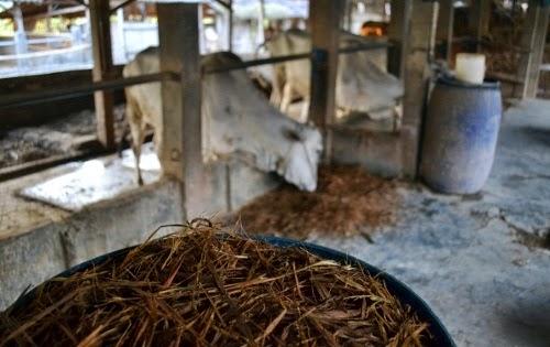 jerami-fermentasi