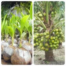 ciri-ciri kelapa hibrida